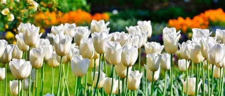 Посадка-тюльпанов