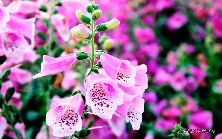 Растение-наперстянка