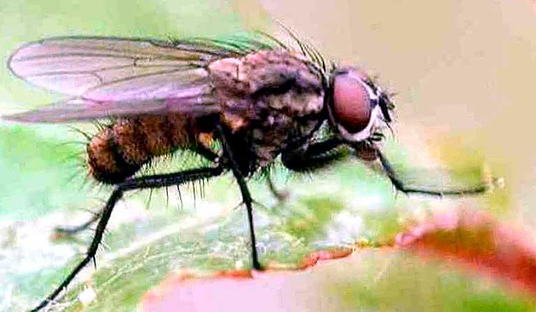 Свекловичная-минирующая-муха