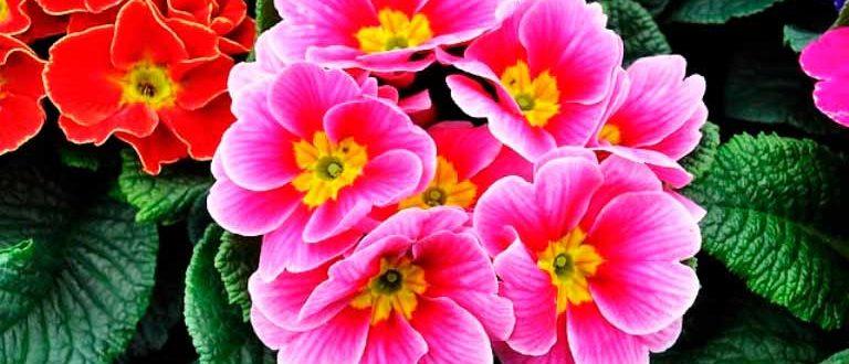 Весенний-первоцвет