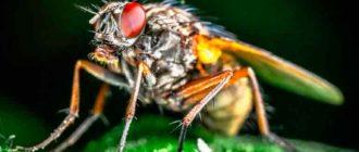 Вредитель-Морковная-муха