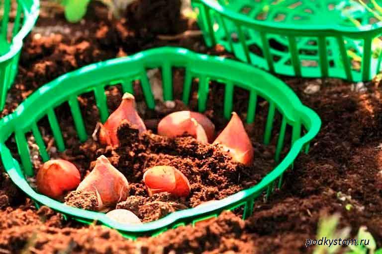 Защита-луковиц-тюльпанов