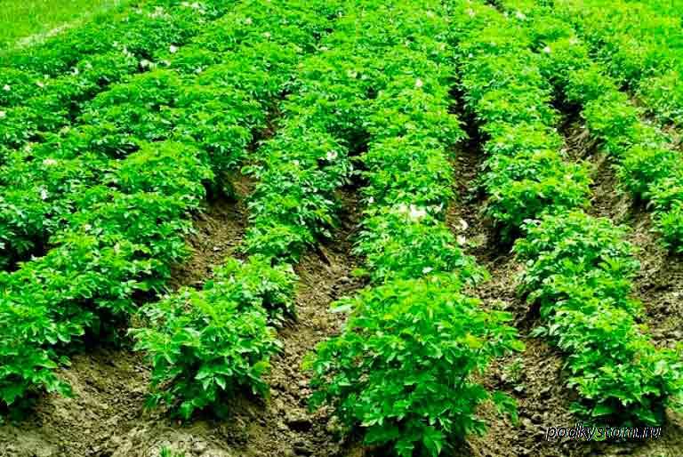 Картофельные-грядки