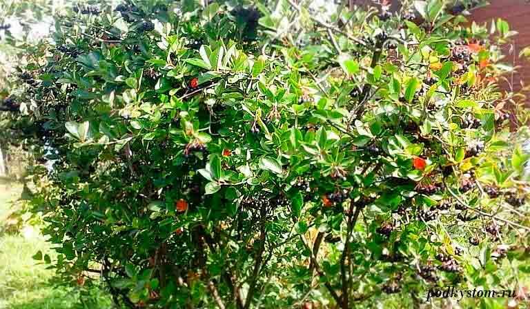 Куст-черноплодки
