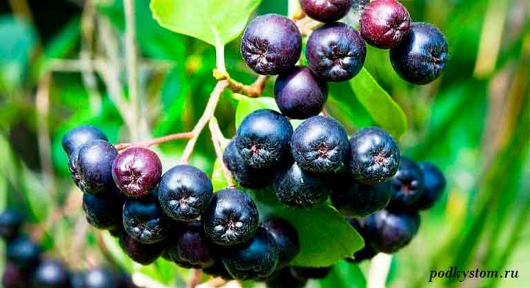 Плоды-черноплодной-рябины