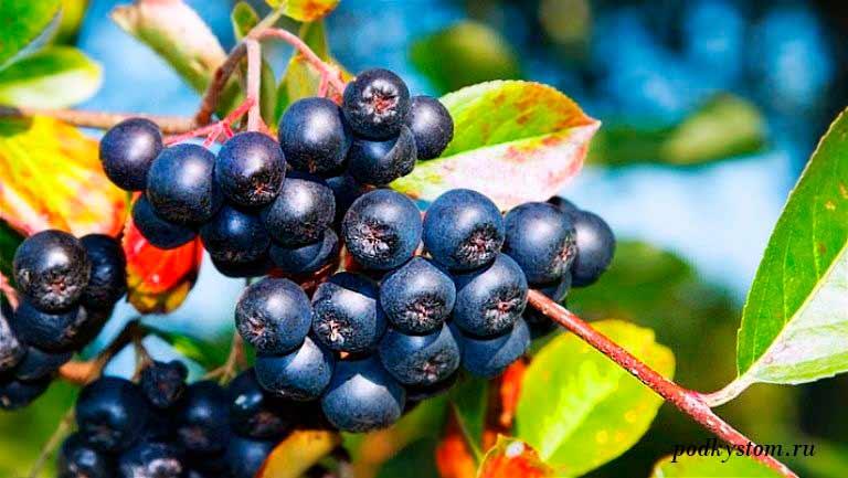 Полезные-свойства-черноплодки