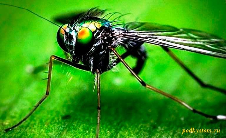 Вредитель-огурцов-ростковая-муха