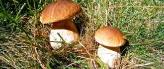 Выращиваем-грибы-на-даче