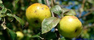 Болезни-яблони