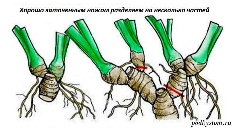 Как-размножать-ирисы