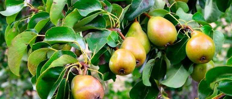 Как-вырастить-грушу