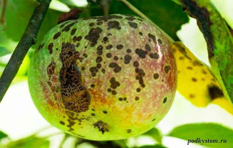Парша-на-плодовых-деревьях