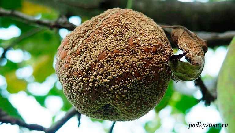 Плодовые-деревья-гниль