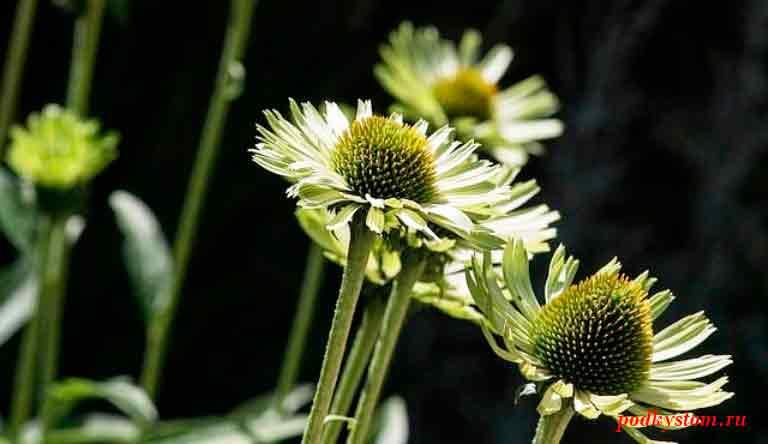 Лечебные-свойства-растений