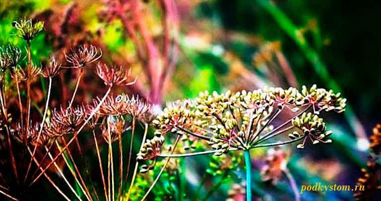 Отвар-из-семян-укропа