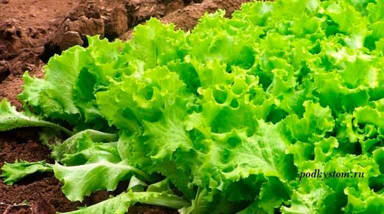 Как-вырастить-покупной-салат