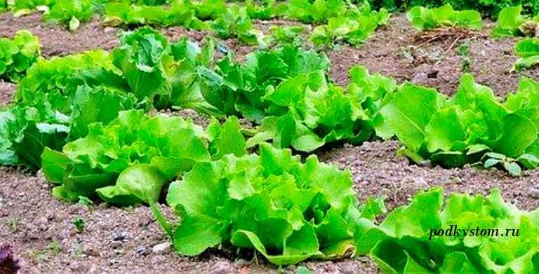 Какие-салаты-выращивать