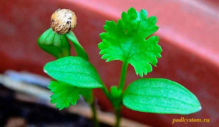 Кориандр-выращивание