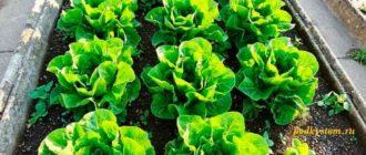Можно-ли-вырастить-салат