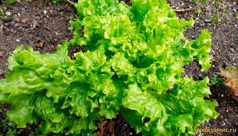 Растение-салат