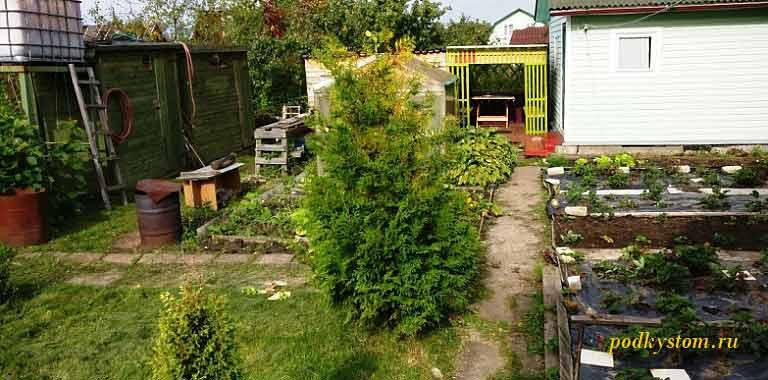 Выращивание-туи-в-саду