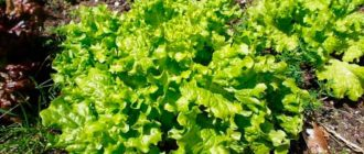 Зелень-для-салатов