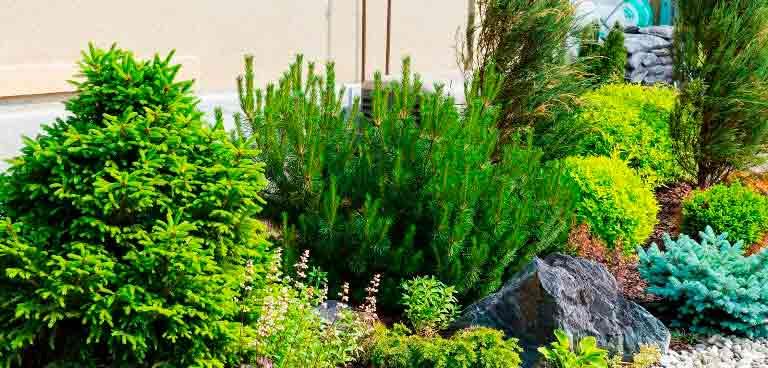 Хвойные-растения-для-сада