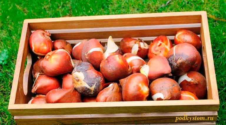 Как-сохранить-луковицы-тюльпанов