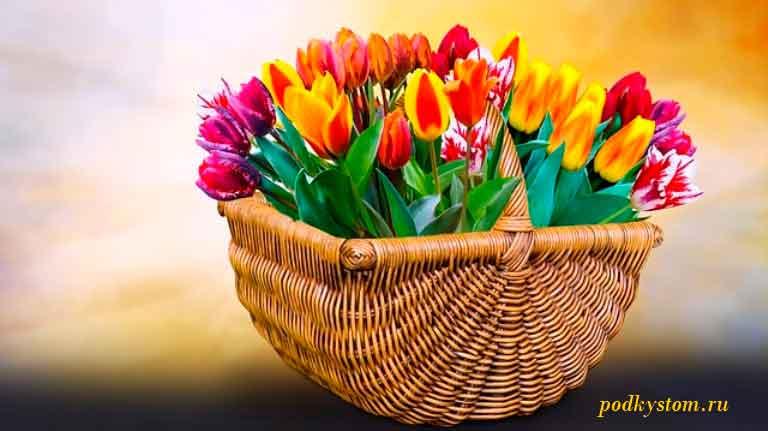 Как-вырастить-тюльпаны-к-марту