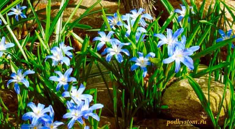 Когда-цветут-гиацинты