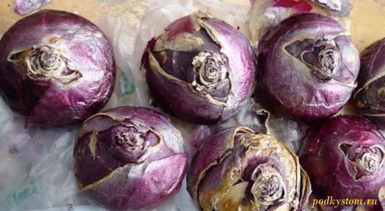 Луковицы-гиацинтов