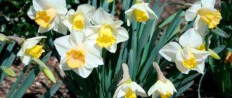 Нарцисс-посадка-и-условия-выращивания