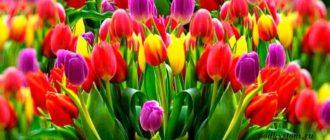 Сроки-посадки-тюльпанов
