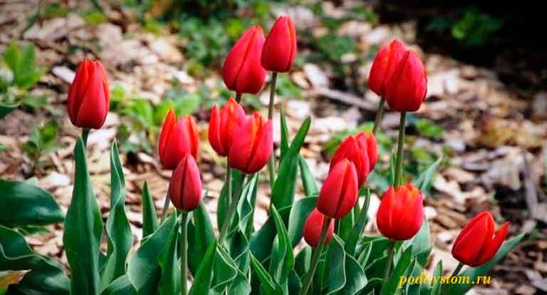 Условия-посадки-тюльпанов
