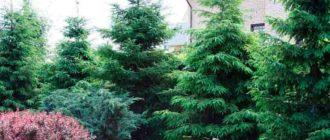 Виды-хвойных-растений-по-высоте
