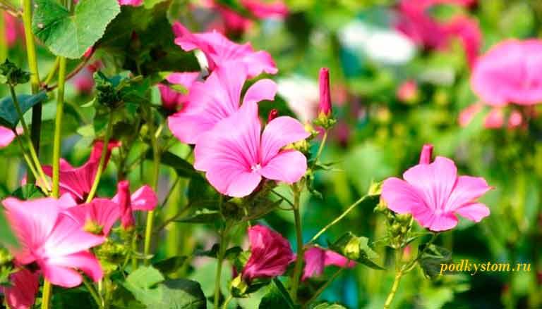 Лаватера-садовая