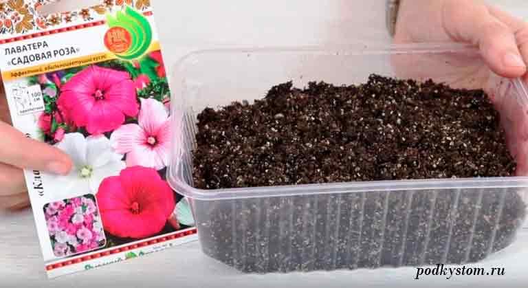 Лаватера-выращивание-рассады
