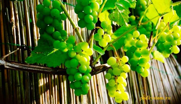 Подготовка-винограда-к-посадке