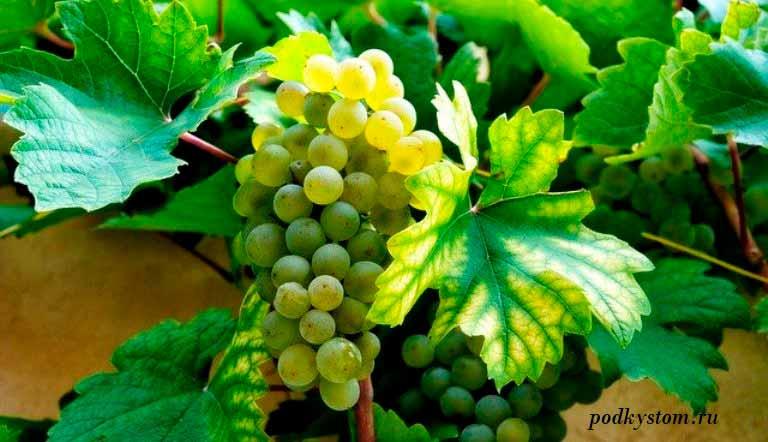 Посадка-винограда-осенью
