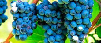 Виноград-сорта-посадка