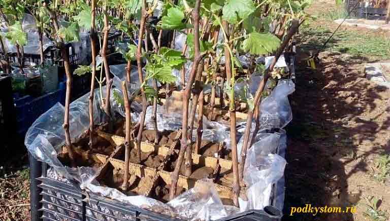 Зимостойкие-саженцы-винограда