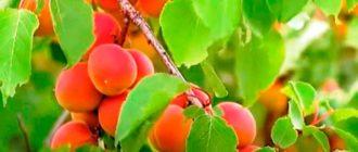 Как-вырастить-абрикос