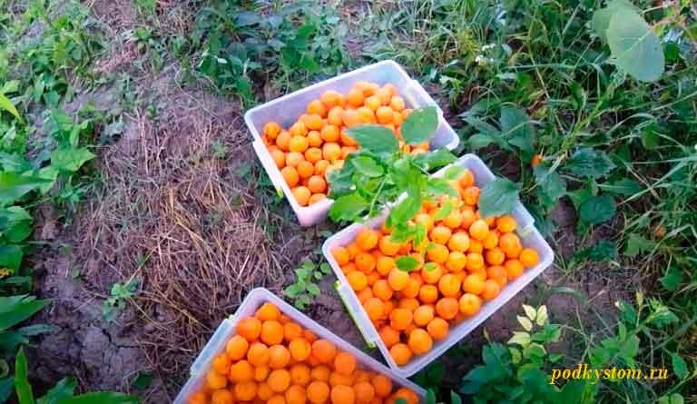 Собрали-урожай-абрикосов