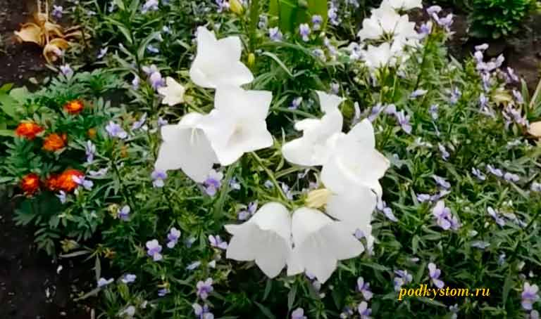 Цветок-белый-большой-колокольчик