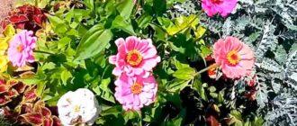 Цинния-условия-выращивания