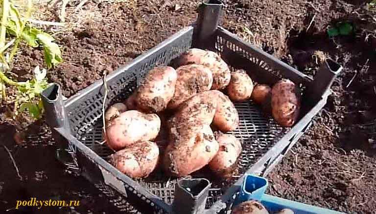 Картофель-ранний-фото