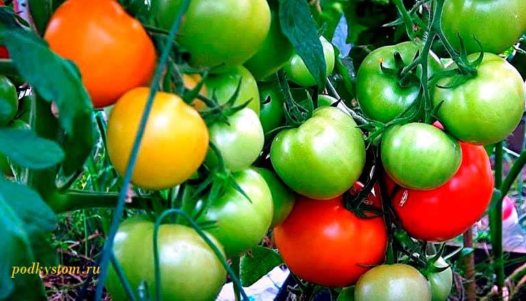 Подкормка-томатов-в-теплице