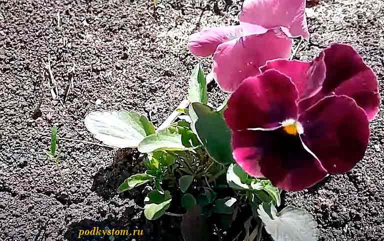 Виола-цветы-многолетние