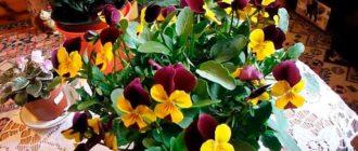Выращивание-виолы-из-семян