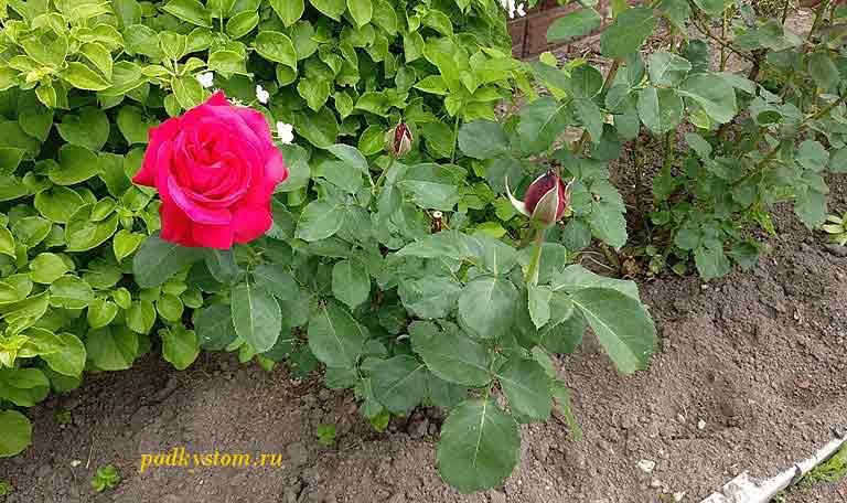 Чем-подкормить-розы-в-августе